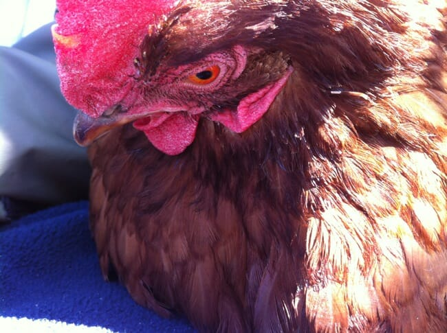 Doris, one of four adopted hens