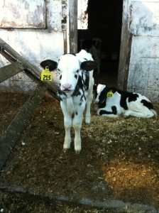 The Humane Myth: Organic Dairy Farming in California