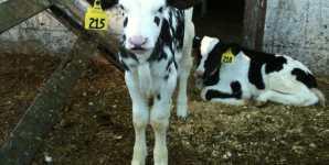 The Humane Myth: Organic Dairy Farming in California