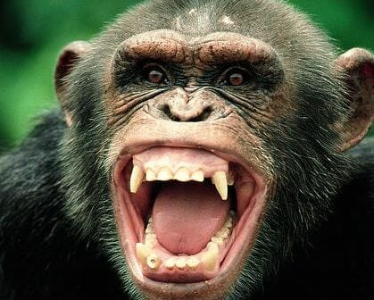 chimp's canines