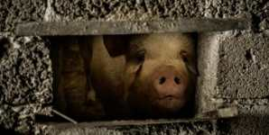 This Story of One Pig Represents the Seed of Factory Farming