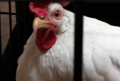 Sweet Pea, one of our adopted chickens