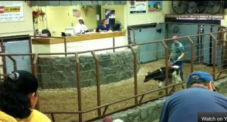 calf being paraded at auction house