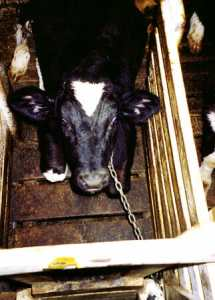 chained veal calf