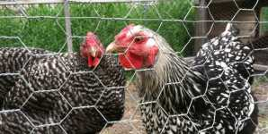 Backyard Chickens in Peril
