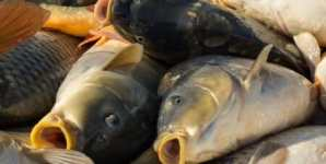Farmed Fish: 9 Things Everyone Should Know