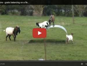Funny Animal Videos: Why Balancing Goats and Jazz Loving Cows Go Viral