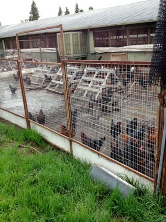 "Sonoma ""free range"" chickens alternative to factory farming?"