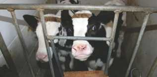 dairy facts, veal calves