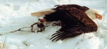 eagle-in-snare