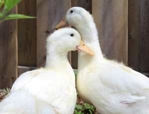 Ginger and Fred: Two Lucky Ducks!
