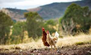 mothering instinct hens