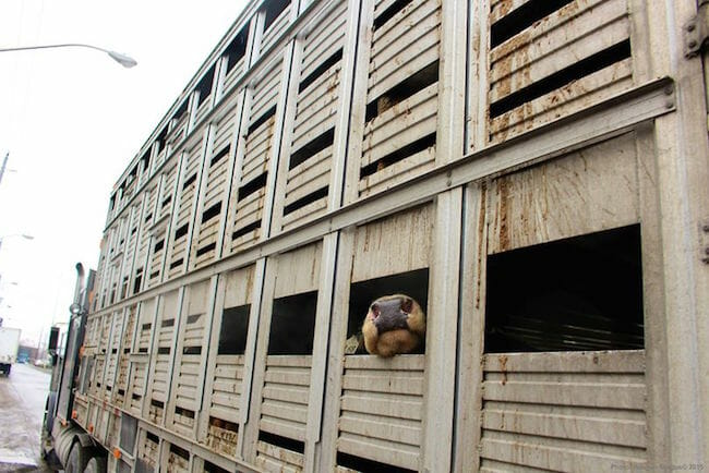 Pulling up to the slaughterhouse. Photo: Hannah Gregus / Toronto Cow Save.