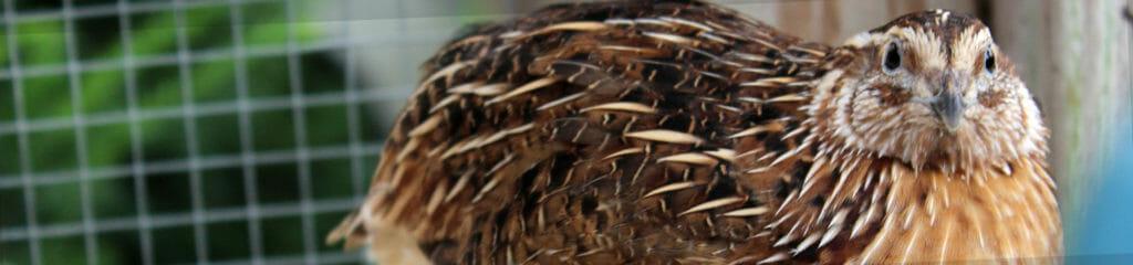 home_banner_quail