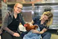 Bodhi: The Story of an Abandoned and Rescued Rooster