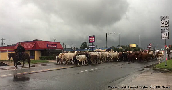 Cowboy leading cows down a city street after hurricane Harvey.
