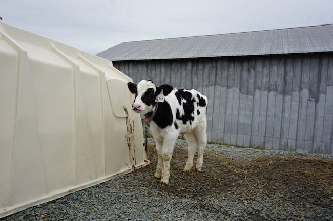 calf standing chained to plastic hutch