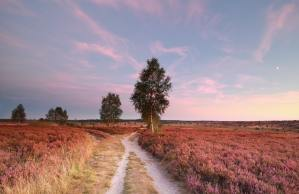 split path at sunset and heather flowers