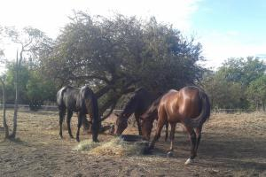 Horses eating in pasture.