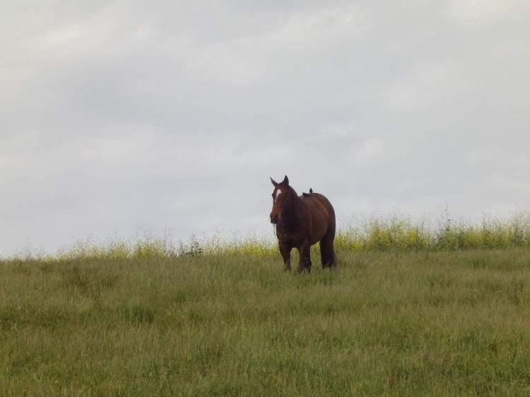 Horse Standing in Feild