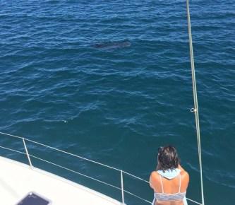 Finally, a whale shark!!