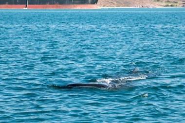 Whale shark off Bahía de La Paz