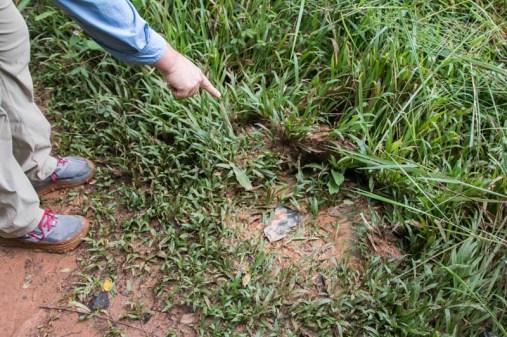 Elephant tracks on a walkabout