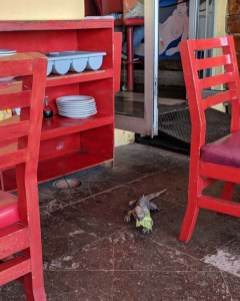 Errant iguana