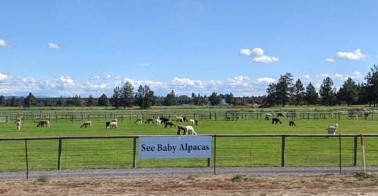 Alpaca fields