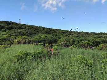 Frigate birds courting