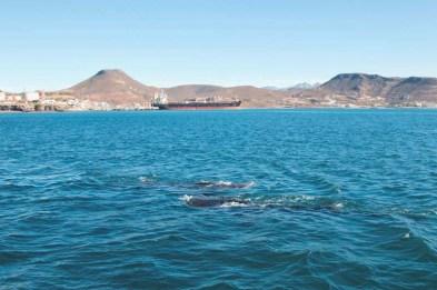 Whale sharks in Bahía de La Paz, January 2018