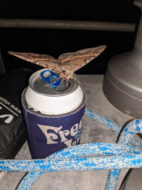 Black witch moth hoping to imbibe