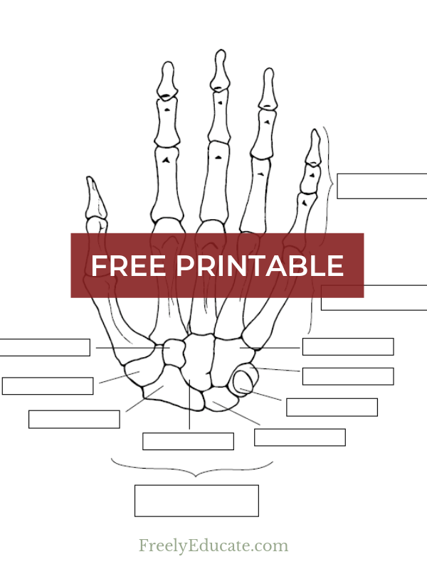 a free worksheet: anatomy of the hand