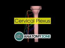 Cervical Plexus | Anatomy Tutorial
