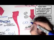 Myology – Skeletal Muscle (Sarcomere, Myosin and Actin)