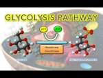 Steps of Glycolysis Reactions - Animation