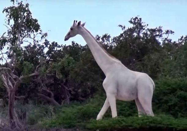 Ritka, hófehér zsiráfot videóztak le - Fantasztikus felvétel!