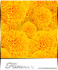 Marigold Flowers Pattern