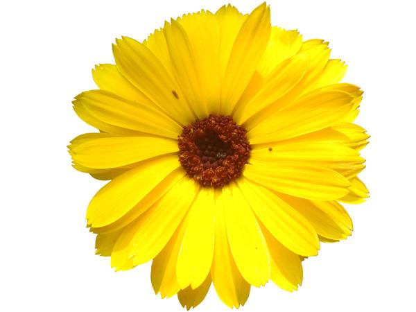 daisy psd