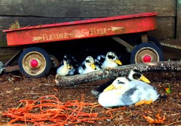 lucky ducks