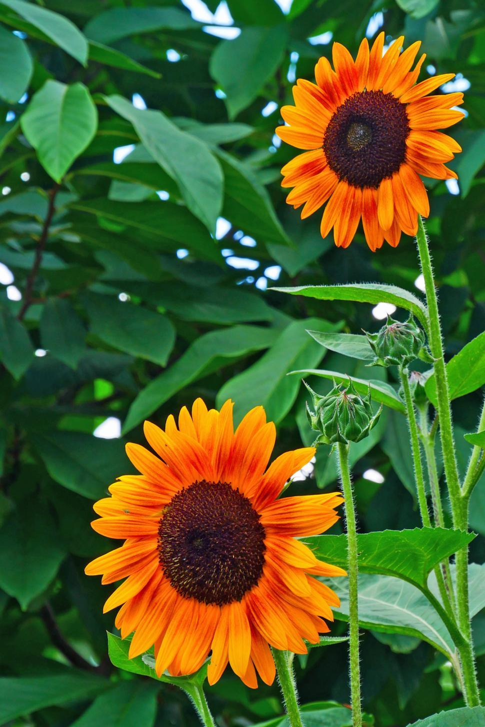 Get Free Stock Photos of Sunflower Flowers Online   Download Latest     Download Free Stock HD Photo of Sunflower Flowers Online