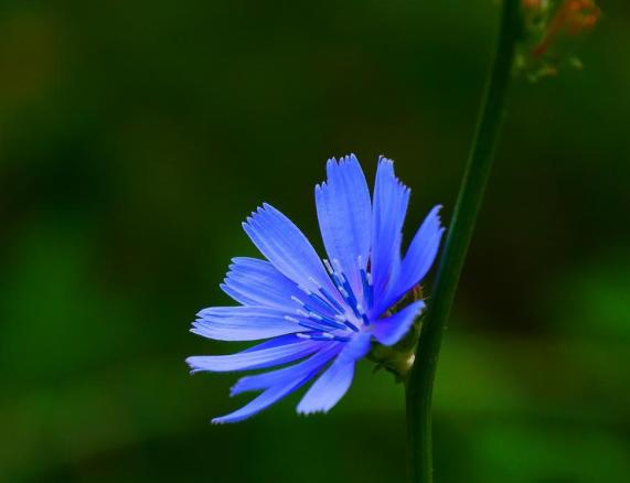Free Stock Photo of Chicory Flower Online | Download Latest Free Images and  Free Illustrations