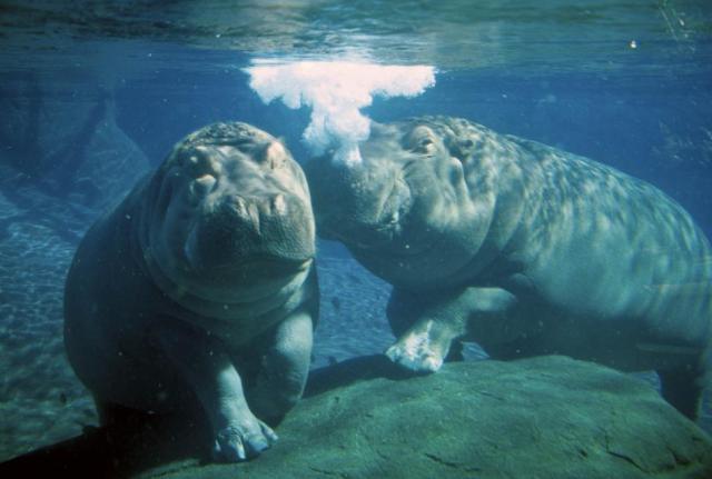 Hippopotamus Habitat