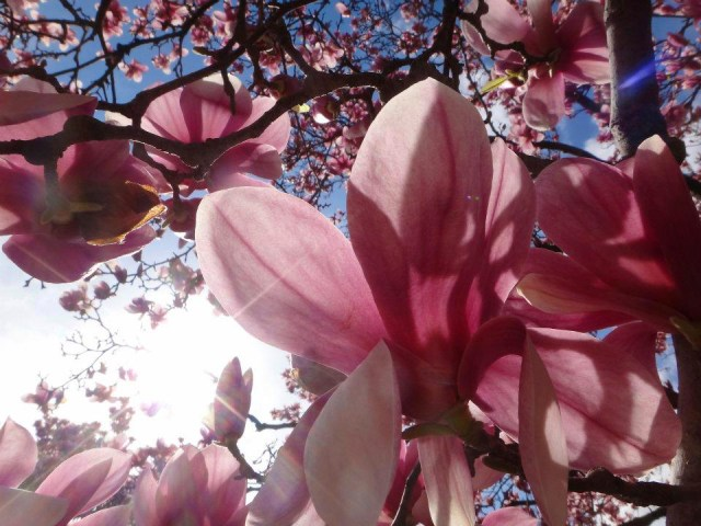 Close up of pink magnolia flower with more flowers and branches in background.