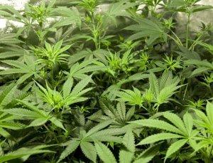 Moederplanten stekken