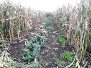 wietkweken tussen mais