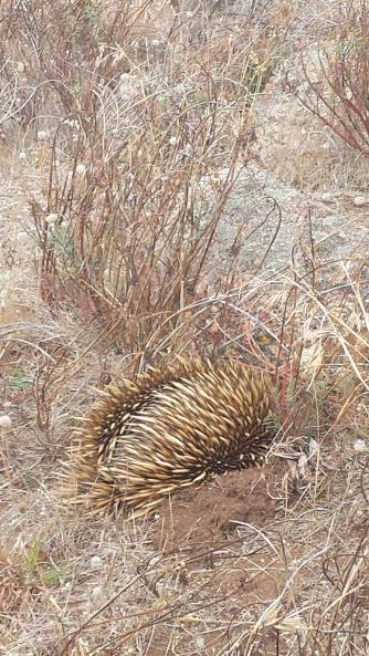 Echidna at the Bluff