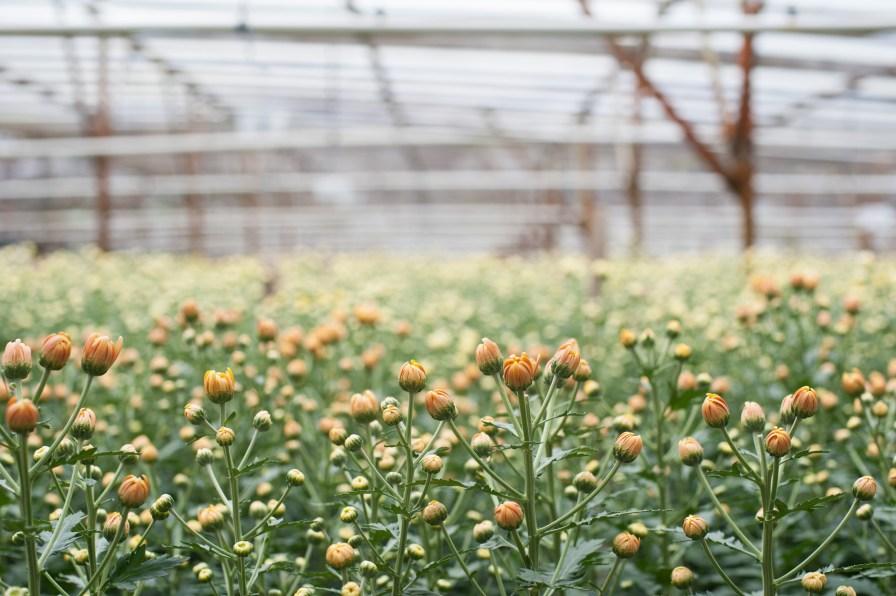 Visit to a local Chrysanthemum Flower Plantation