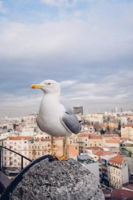 Seagull at Galata Tower