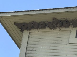 Cliff swallow nests on the water tower